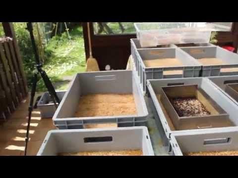 Mehlwürmer züchten - Mehlwurmzucht Mai 2015 - 2 Jahre Mehlwurmzucht - YouTube