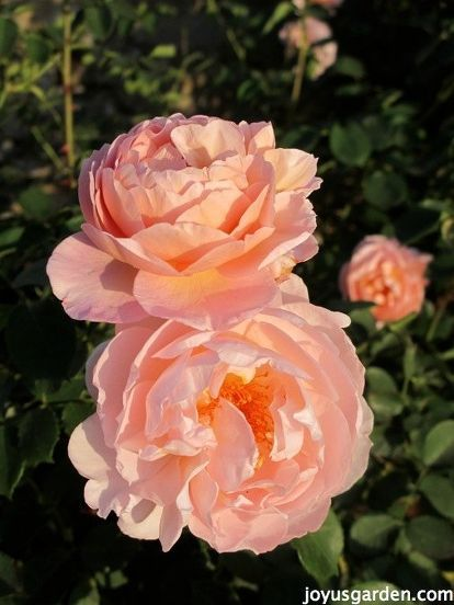 how to feed roses organically naturally, flowers, gardening, go green