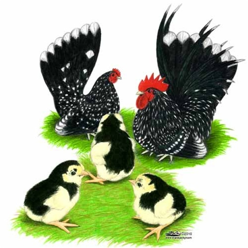 Mottled Japanese Bantam Chickens for Sale, Buy Mottled Japanese Bantam Chicken
