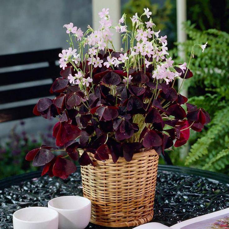 Hojas púrpura y flores rosadas de Oxalis triangularis