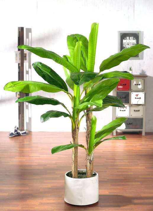 Bananenbaum ca. 160 cm hoch