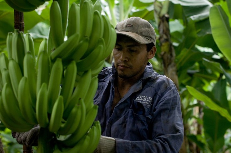 Over 700 Colombian banana and plantain farmers and workers will benefit from a new public-private partnership between Colombia and the Netherlands to improve the standard of living of small producers.