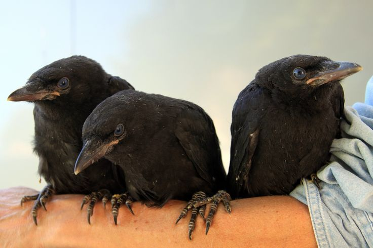 Baby crows by Peter Swiatowy