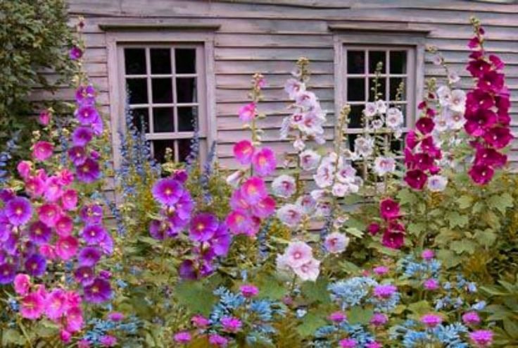 Beautiful Mix of my best Hollyhocks! 20 SEEDS! COMBINED S/H! SEE OUR STORE! in Home & Garden, Yard, Garden & Outdoor Living, Plants, Seeds & Bulbs | eBay