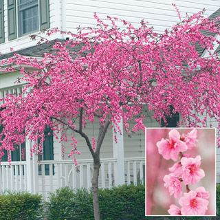 Pink Cascade Weeping Peach. front yard? corner? i have a japanese red maple for one corner, then the peach on another? i really want a variegated redbud tree but they cost a little more.