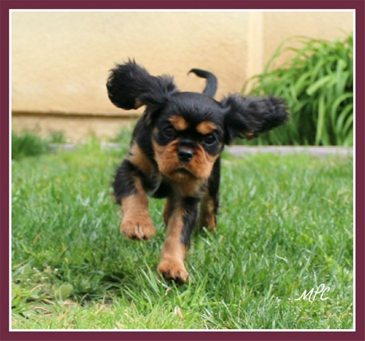 Cavalier king Charles breeder, Black and tans, Ruby's, tri, Blenheim, OFA health tested