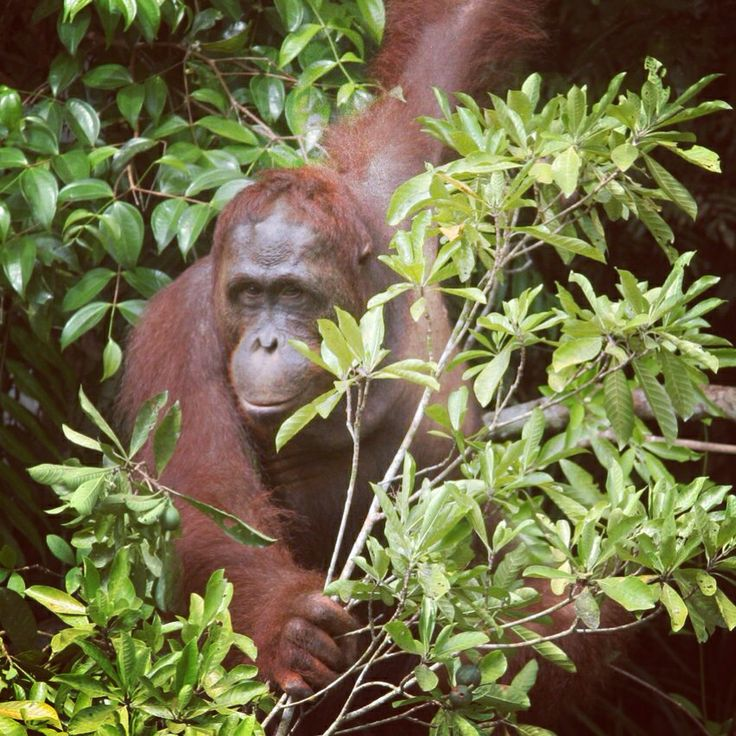 WE HAVE A WINNER!!! Congrats to Jacquie Randall from NSW who won an EcoTour for two to Camp Leakey in Borneo to see the orangutans! We are so happy for her and so grateful to everyone who bought a ticket and supported us. Thank you to our wonderful sponsors too! Stay tuned for our next fab project soon!