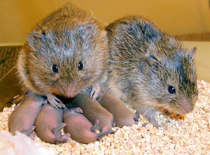 A monogamous couple of prairie voles, a male and female, are seen with their offspring at Yerkes National Primate Research Center in Atlanta, Ga., in 2008.  Read more: http://www.businessinsider.com/effects-of-drinking-alcohol-on-bond-formation-in-prairie-voles-2014-4#ixzz2yLrkzI3o