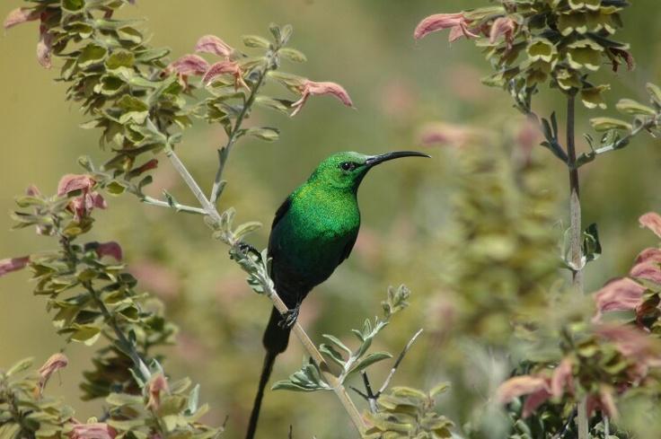 Malachite Sunbird - West Coast National Park, Western Cape,  South Africa