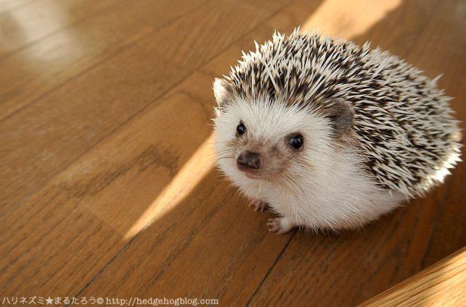ハリネズミのまるたろう、Marutaro the hedgehog