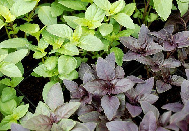 Basilikum er let at dyrke, hvis sommeren er tilstrækkelig varm. Vil du have ekstra stor bladproduktionen, så er her nogle tips til større udbytte af...