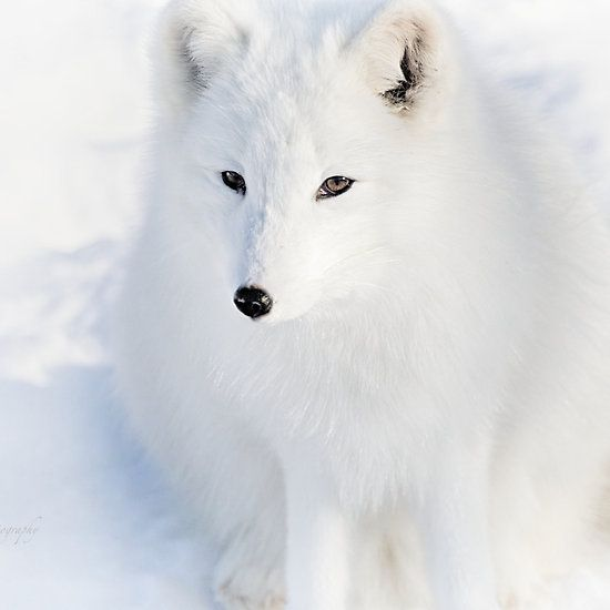 Fluffy - Arctic Fox