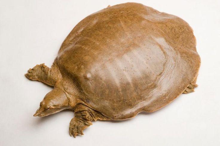 """Apalone mutica, a tartaruga de casco mole que tem """"alto potencial reprodutivo para uma tartaruga"""", apesar de parecer... caca."""