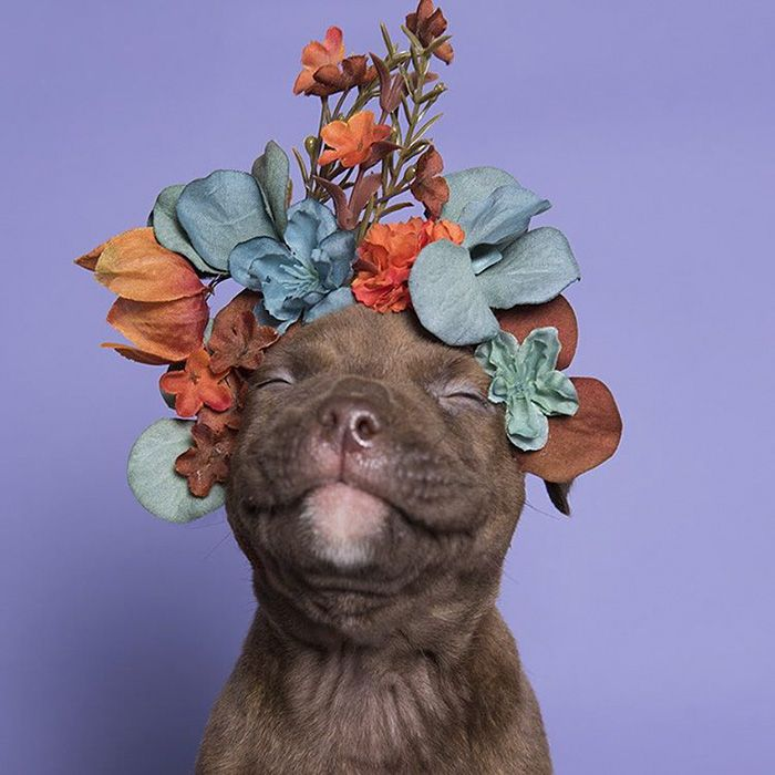 La fotógrafa Sophie Gamand sigue con su misión de desafiar la a menudo percepción negativa que se tiene de los perros pitbull.