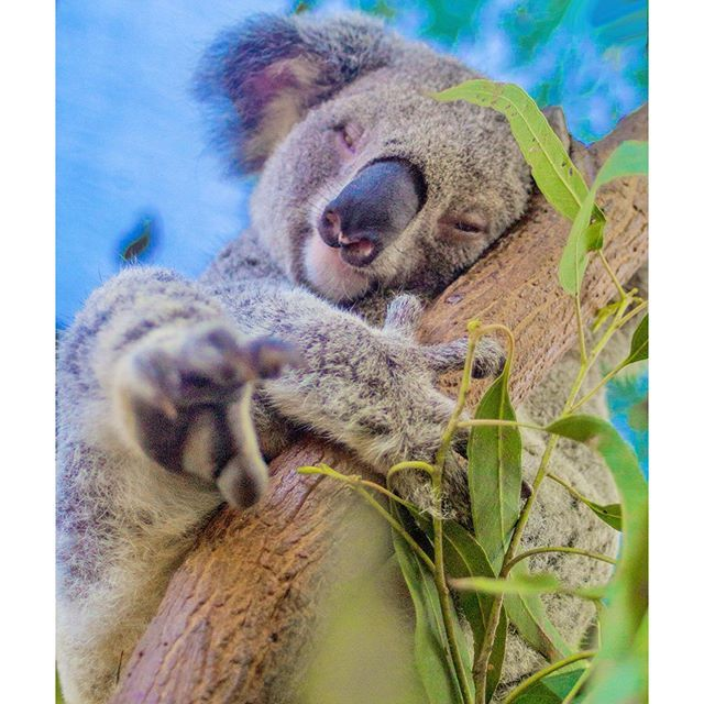 How much can a koala bear before he has to nap? Not too much! #thisisqueensland by @currumbinali