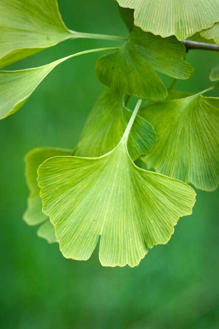the 25 best maidenhair tree ideas on pinterest leaf symbol