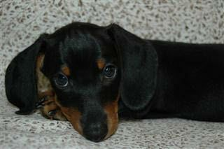 Black & Tan Short Hair Dachshund