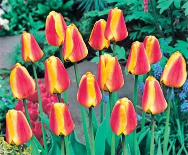 Tulip for spring