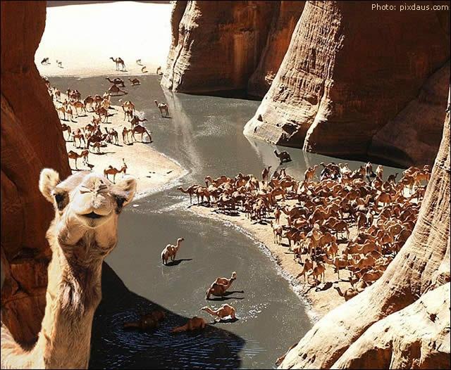"""Guelta D'archei Oásis - The """"garage"""" of camels in the Sahara Desert - Watch http://destinations-for-travelers.blogspot.com.br/2013/05/guelta-d-archei-oasis-chad-deserto-do-saara.html #sahara #camels #africa #desert"""