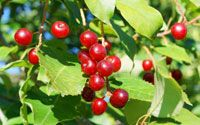 pin cherry jelly U minnesota ag extension