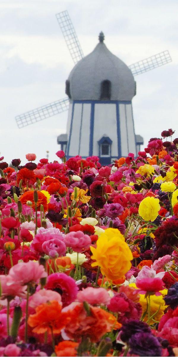 南カリフォルニア サンディエゴ ザ・フラワー・フィールズ(The Flower Fields - Carlsbad San Diego)