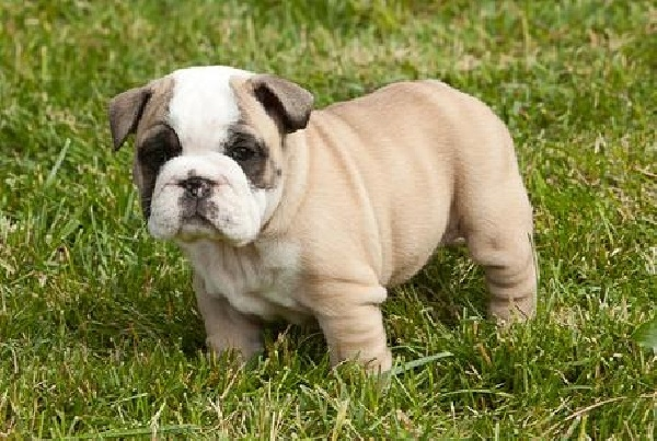 Miniature Bulldogs {Pretty sure I've convinced Nick this is the type of puppy we need to get!!!}