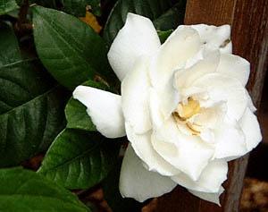 "Gardenia jasminoides ""Gardenia"""