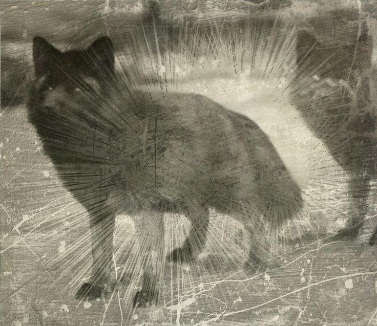 Black foxes ( in my dreams )