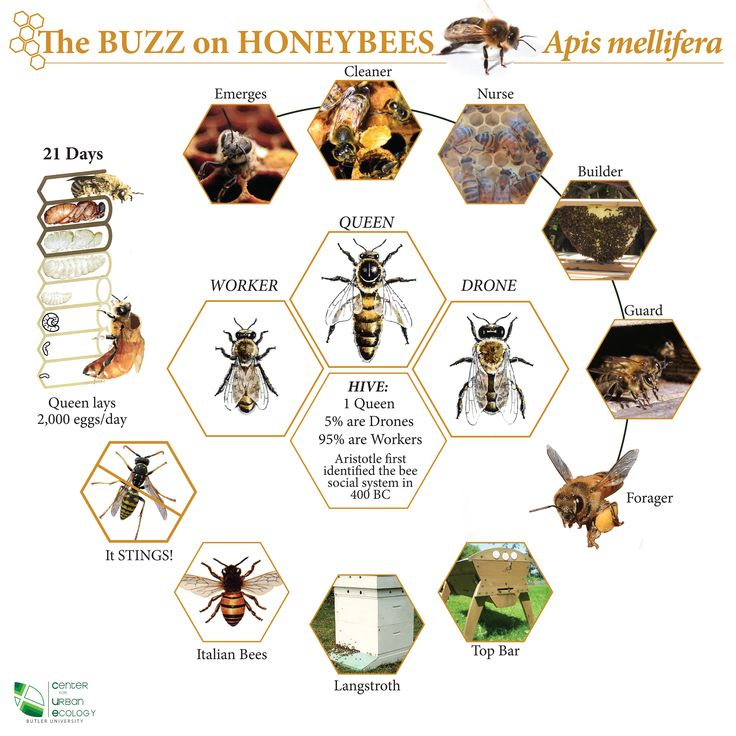 "Interesting honey bee chart.  The picture labeled ""it stings"" shows a yellow jacket, not a honey bee, to help you know the difference."