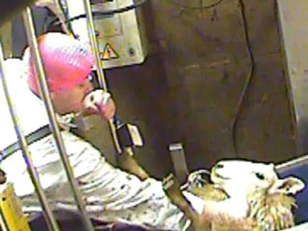 why #vegan - Ministers are under pressure to respond to growing public discontent about religious slaughter after an undercover investigation exposed the horrific mistreatment of animals at a halal abattoir.