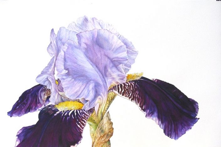 Gallery of Rosie Sanders' original botanical flower paintings