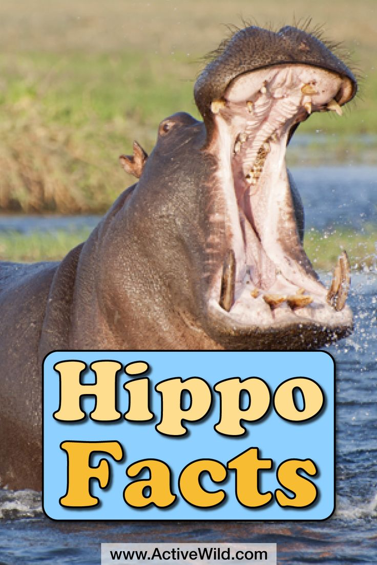 Hippo facts for kids. It may be a plant-eater, but the hippopotamus is bad-tempered and exceedingly dangerous. Even top predators such as lions and nile crocodiles give this unpredictable giant a wide berth! Find out more about this not-so-gentle giant at Active Wild.