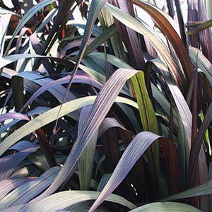 Buy Pennisetum Vertigo Ornamental Grass Online. Garden Crossings Online Garden Center offers a large selection of Millet Plants. Shop our Online Ornamental Grass catalog today!