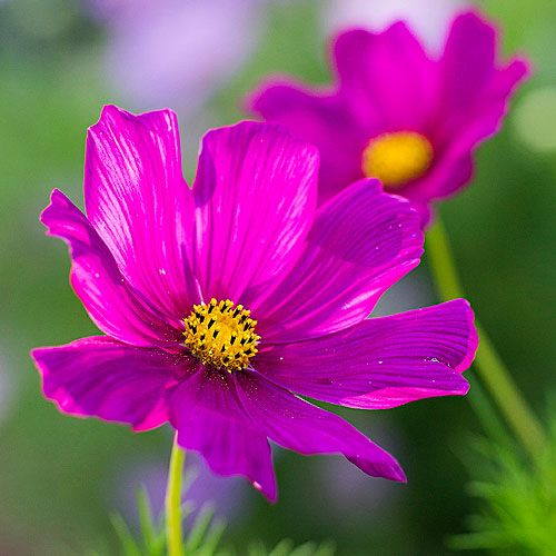 Cosmos (<i>Cosmos bipinnatus</i>) - Best Bouquet Flowers to Grow - Sunset