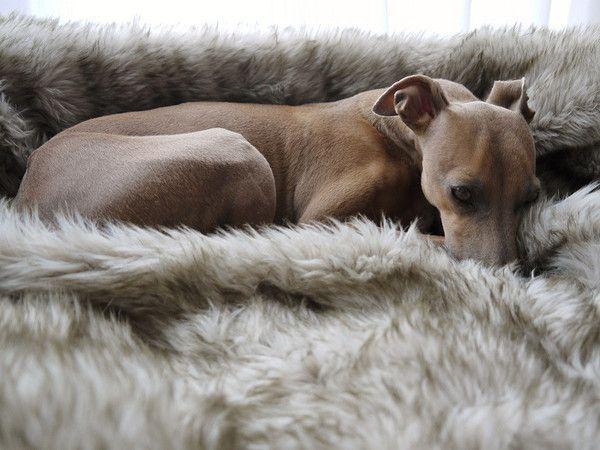 49 best italian greyhounds images on pinterest