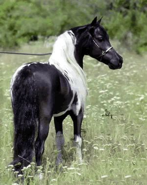 miniature horses | ... miniature horses for sale yearling colt american miniature horses