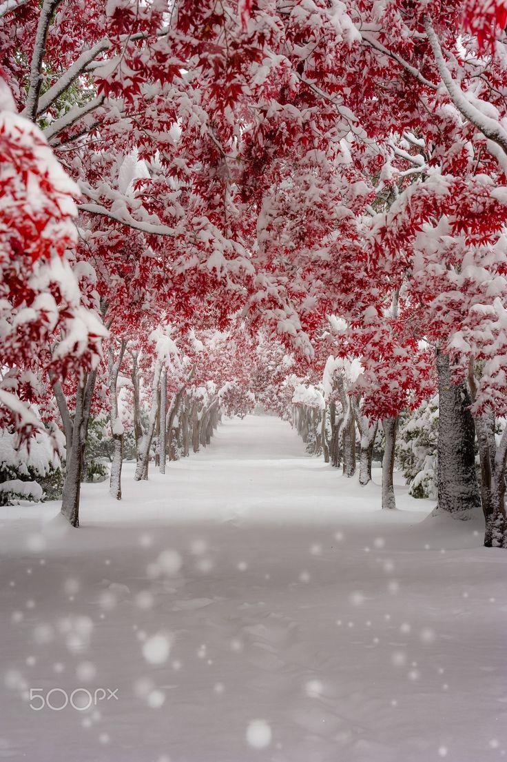 雪に閉ざされた秋 - 紅葉のピークに雪が降り積もり幻想的でした。