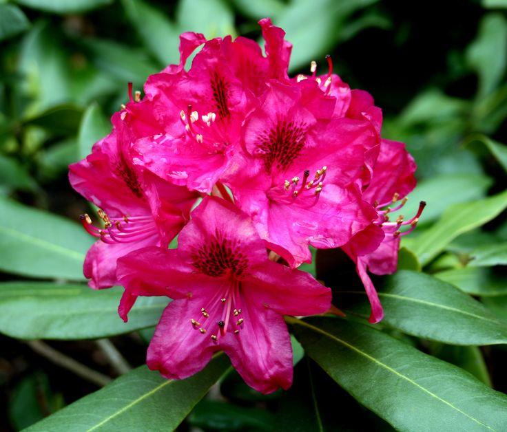 rhododendron | Rhododendron, Pflege und Schnitt