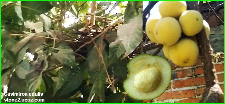 فاكهة سابوتا بيضاء Casimiroa Edulis قسم الفواكه النبات معلومات نباتية وسمكية معلوماتية Coconut Fruit Food
