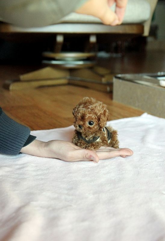 teacup poodle... omg.. I want!!