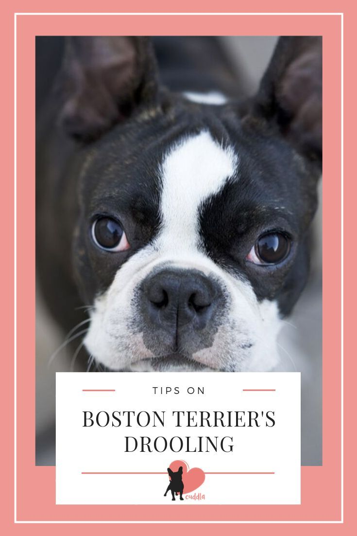 Do Boston Terriers Drool Boston Terrier Terrier Dog Facts