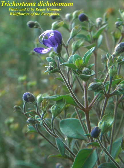 1000  images about native plants for northeast fl on pinterest