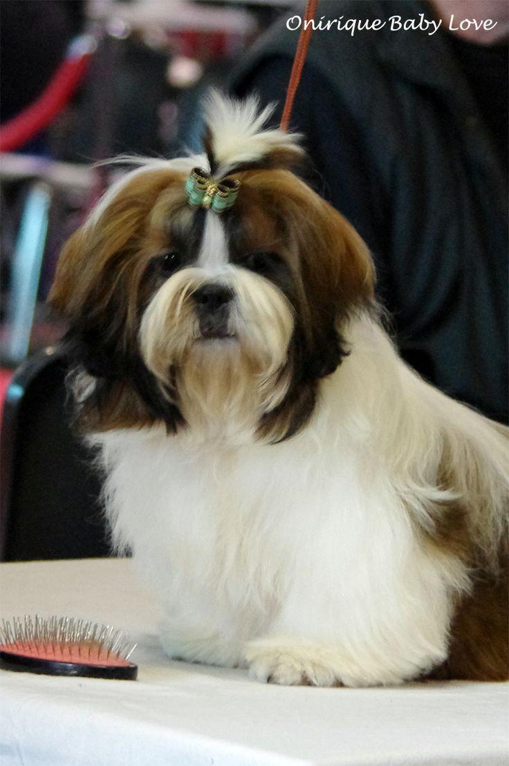 Ipy Chic, chiot shih-tzu mâle de presque 6 mois. 1ère exposition canine, Nationale d'élevage du 15 mars de Montluçon, classé 4ème, classe baby mâle.