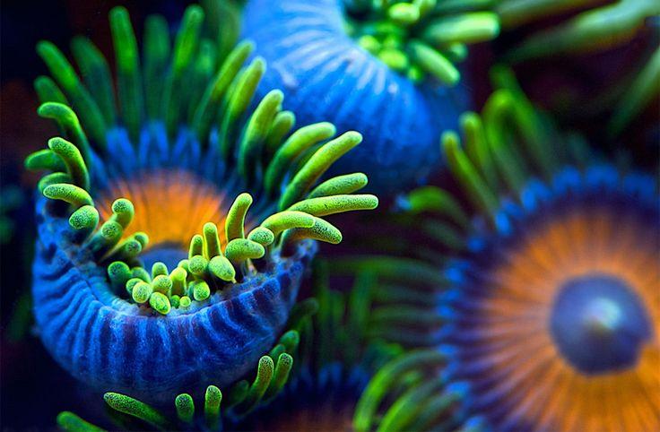 Sea anaemone