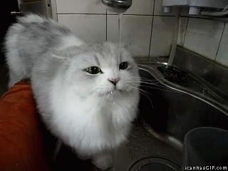 Funny Cat Drinking Water Gif