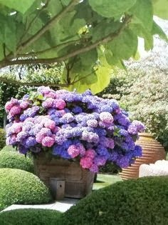 Container Hydrangeas! Planting hydrangeas in containers is a great way to control the pH of the soil...and that determines the color.
