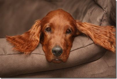Irish Setter puppy named Bronte - all ears