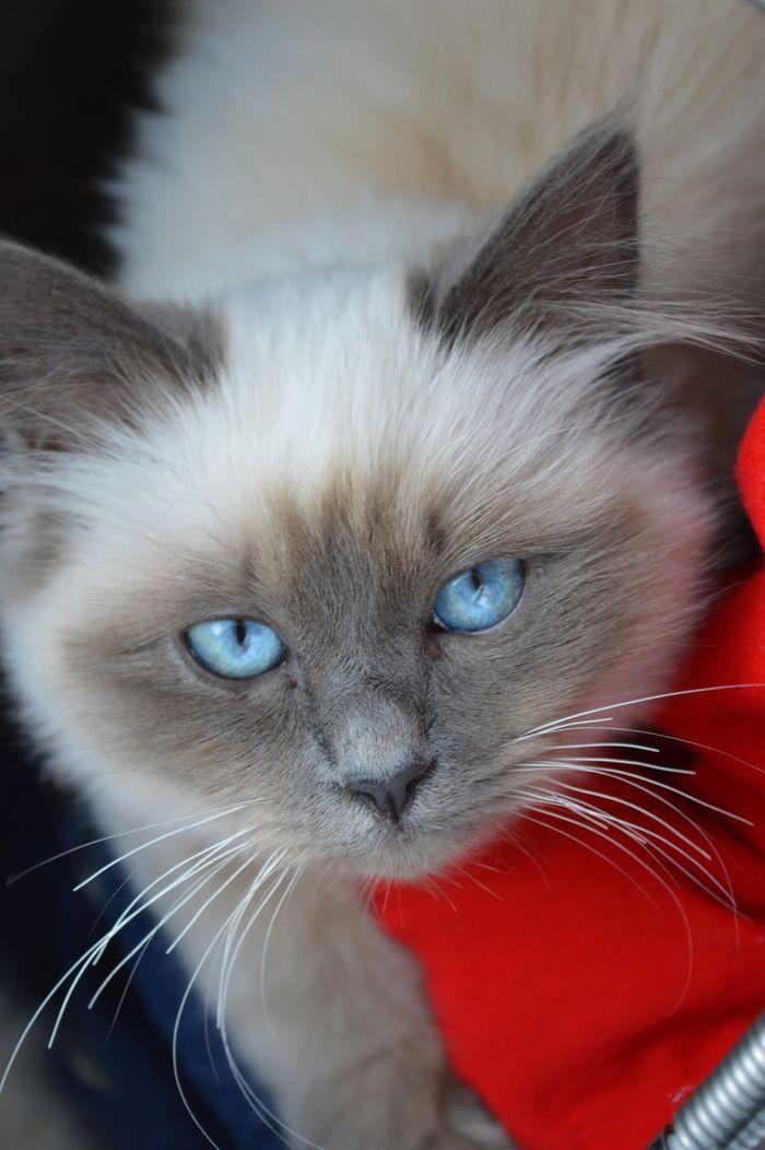 Deep blue eyes #birman #cat #yummypets