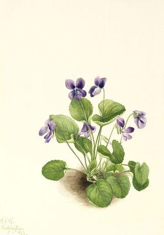 Butterfly Violet (Viola papilionacea) by Mary Vaux Walcott / American Art
