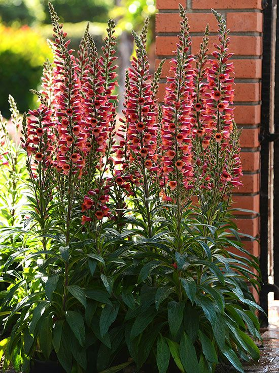 Digitalis 'Foxlight' 'Foxlight' comes along sporting outward-facing, red, plum, or rose flowers on sturdy stems that grow only 20-24 inches high. All three varieties, 'Ruby Glow', 'Rose Ivory', and 'Plum Gold' are also prized for their willingness to bloom from April to September.